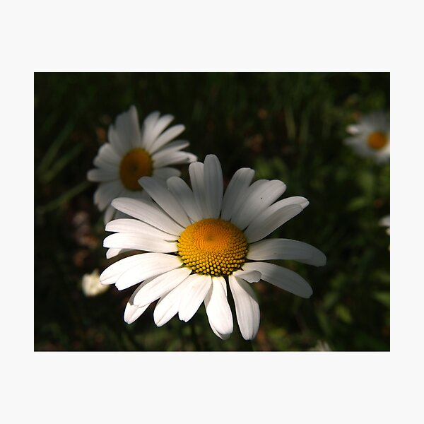 Daisys Photographic Print