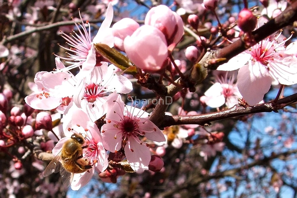 Pink Spring by SharonD