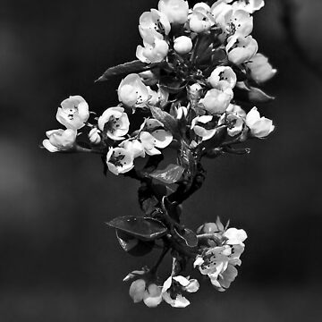 Monochrome Apple Blossoms  by leviadraconia