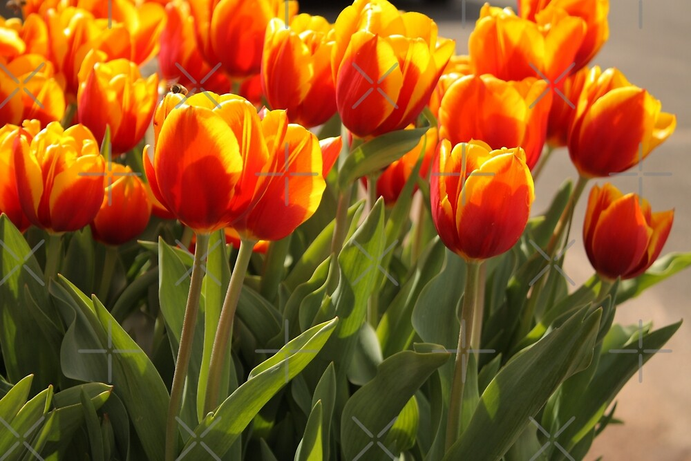Tulip Delight by Elaine Teague