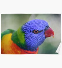 Rainbow Lorikeet, Rockhampton - Queensland.  Poster
