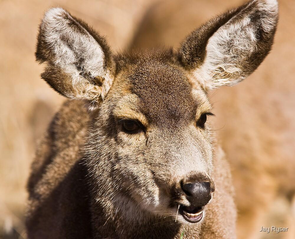 Mule Deer Portrait by Jay Ryser