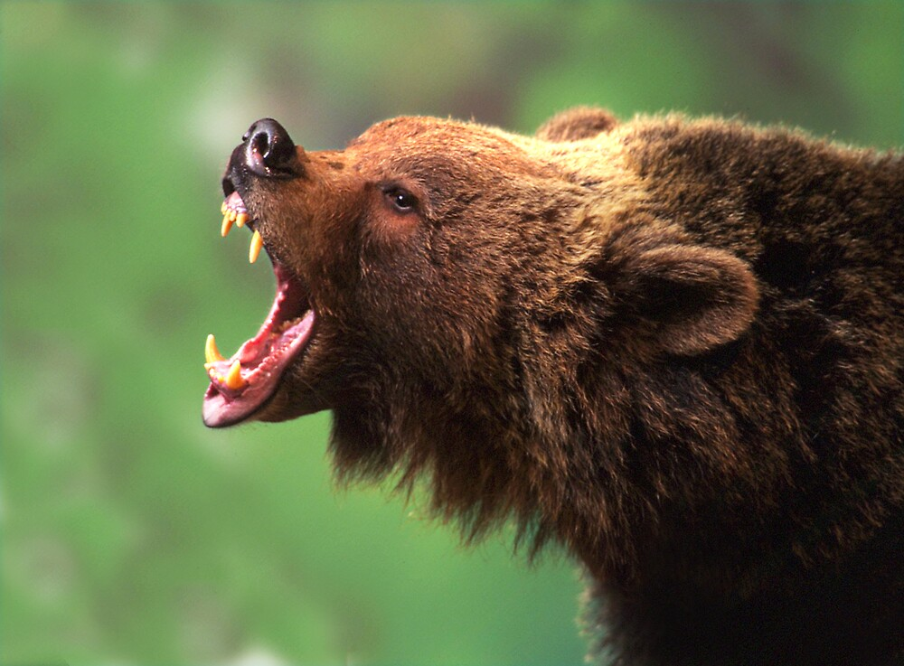 Quot Bear Teeth Quot By Phillip Mccordall Redbubble