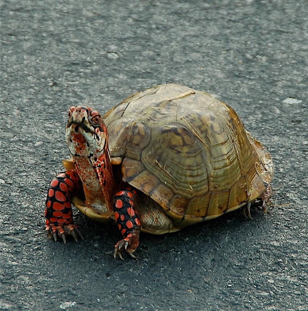 Box Turtle by Jim Caldwell