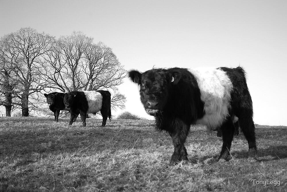 Jones field -- Cross between Cow & pig  by TonyLegg