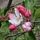 Apple blossom 2 by jamluc