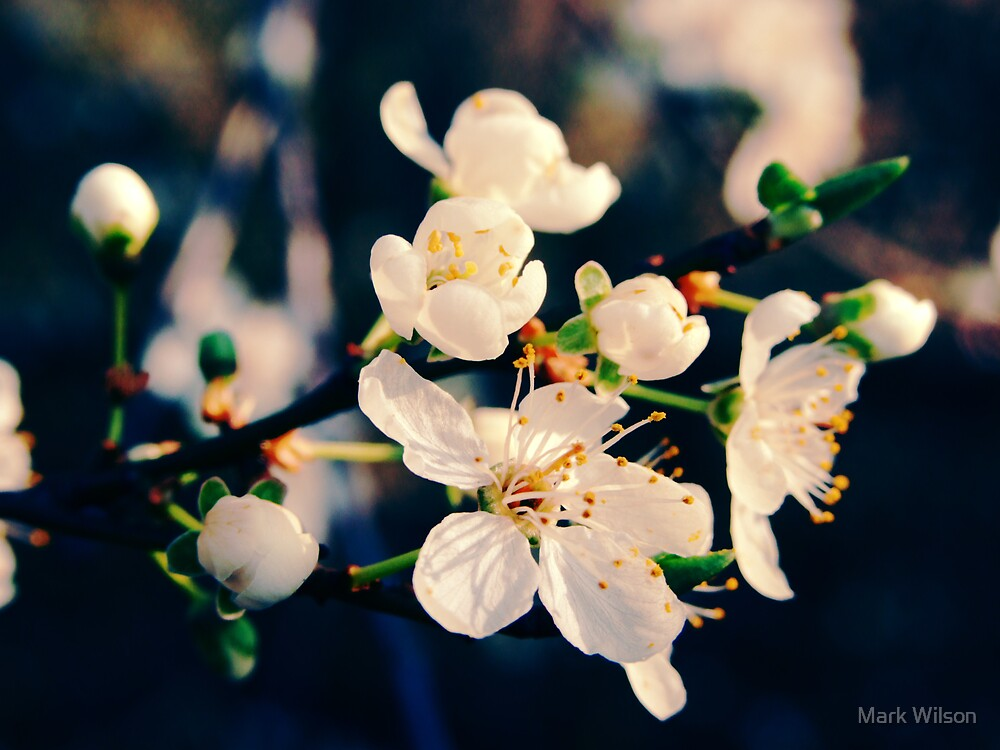 Apple Blossom by Mark Wilson