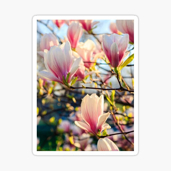 magnolia flowers on a blurry background Sticker