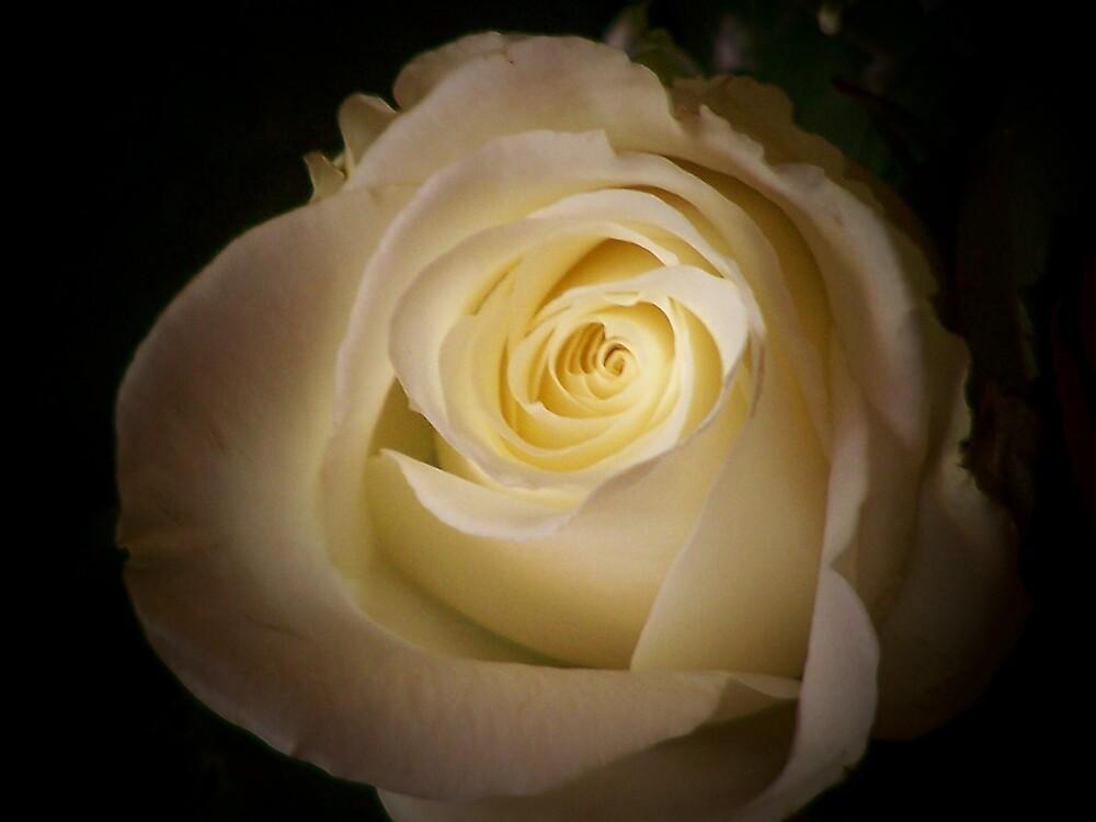 rose of sunshine by bjpk