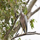 White Faced Heron by Geoff Smith