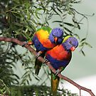 Rainbow Lorikeets by Geoff Smith