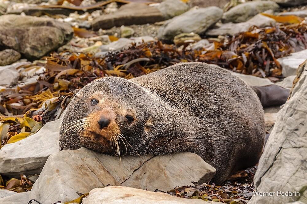 Resting Seal by Werner Padarin