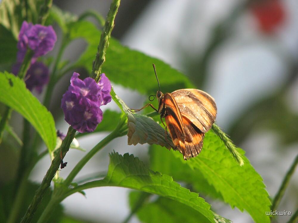 Butterfly by wickwire