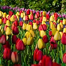 Red and Yellow Tulips by Sean Allocca