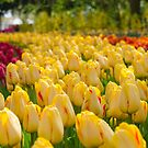 Yellow Tulips by Sean Allocca