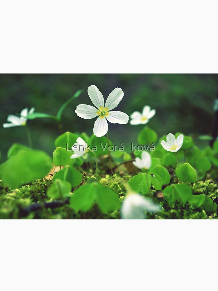 Oxalis acetosella by Trin4ever