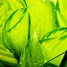 hostas after rain by Lynne Prestebak