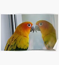 Tell me the truth, do I look fat in this! Sun Conure - NZ ** Poster