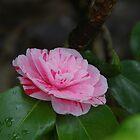 Pink Camellia by lezvee