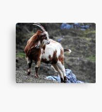 Goat of The Burren Metal Print