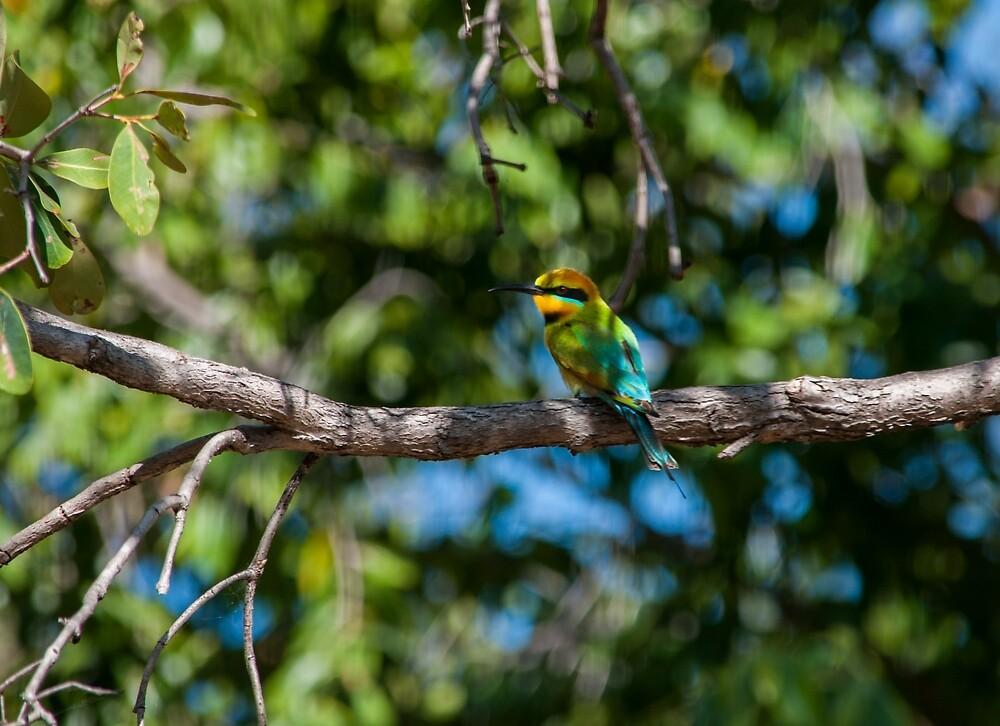 Kingfisher - Nitmiluk - Katherine by David Blackwell