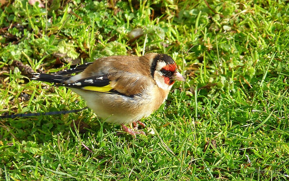 I'm a colorful chap! - Goldfinch - NZ - Southland by AndreaEL