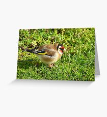 I'm a colorful chap! - Goldfinch - NZ - Southland Greeting Card