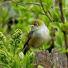 Where is the apple! - Silvereye - NZ - Southland by AndreaEL