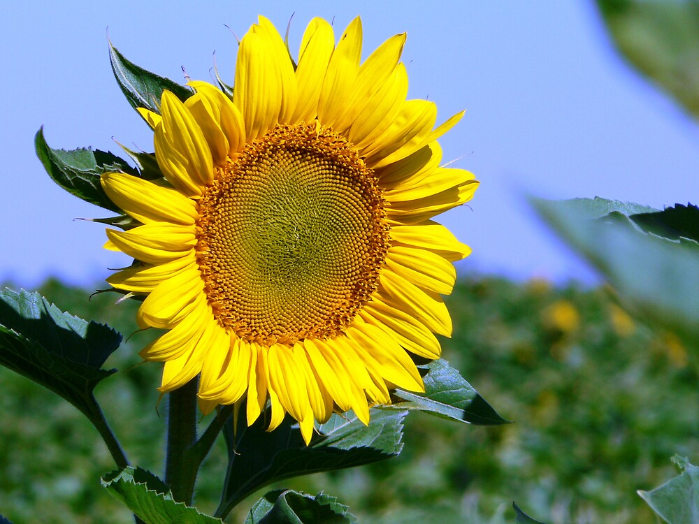 sunflower by Brett Harris