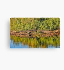 American Alligator Basking In The Sun Canvas Print