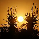 Sunset Aloes by Chris Coetzee