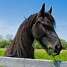 Black Friesian by Maria Dryfhout
