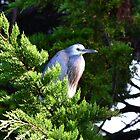 Heron in the fir tree by lizdomett