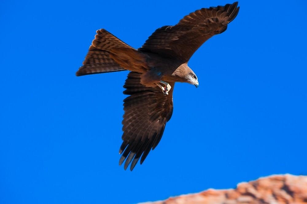 Black Kite - Alice Springs Desert Park - Alice Springs by David Blackwell