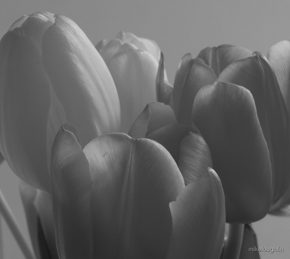 Tulips by mikeloughlin