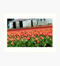 Tulips Galore! - Tulip Growers - NZ - Rural Southland Art Print