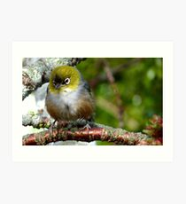 Boy! that was a quick Shower! - silvereye - NZ - Southland Art Print