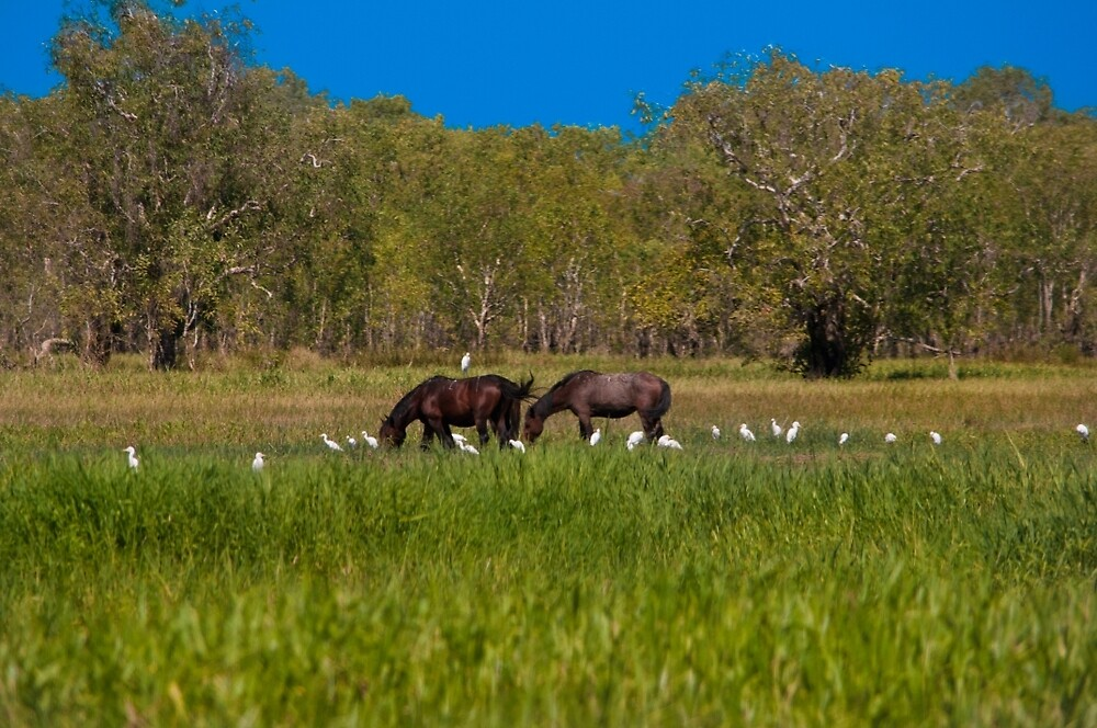 Brumbies - Yellow Water BIllabong, Kakadu National Park by David Blackwell