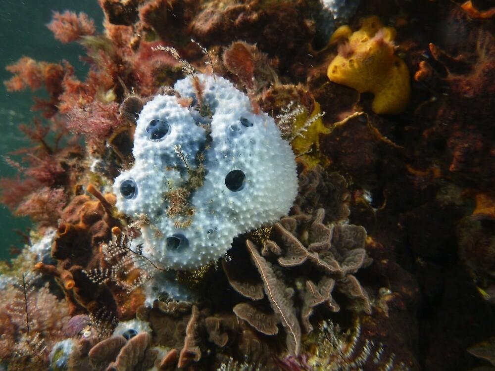 Blue sponge (Euryspongia sp.) - Moonta jetty, South Australia by Dan Monceaux