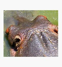 HIPPO HEAD PHOTO Photographic Print