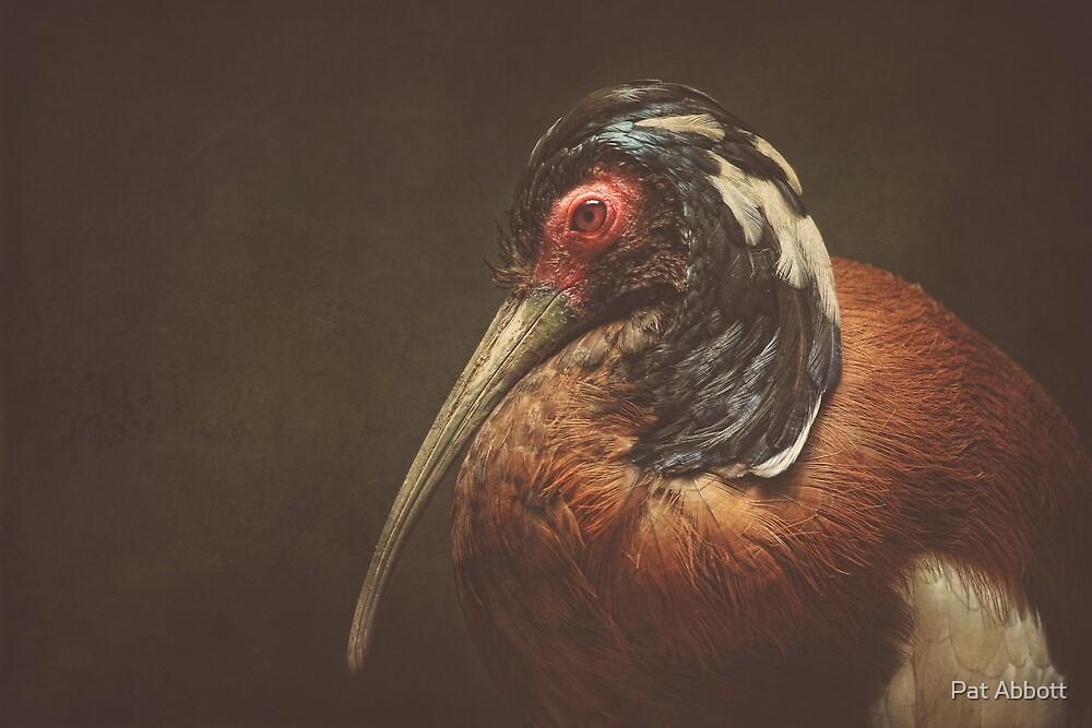 Ibis by Pat Abbott
