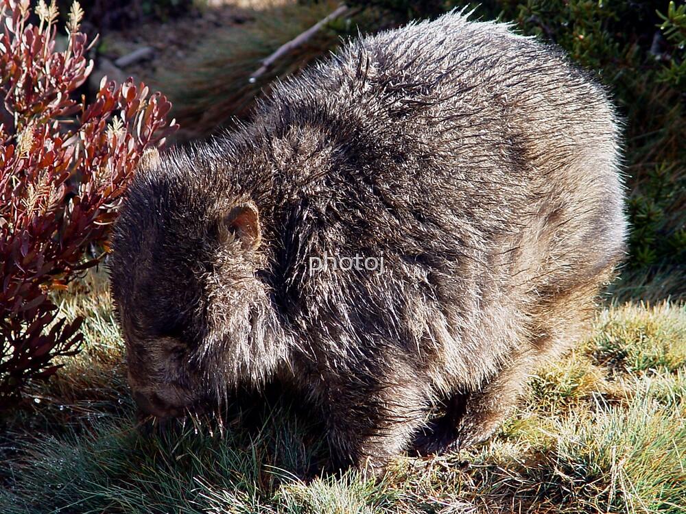photoj Tas, Wombat by photoj