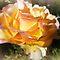 *Orange/Yellow Rose - Enchanted Flowers