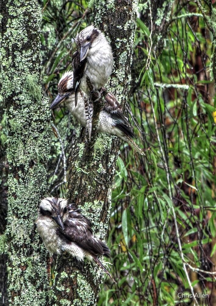 Kookaburra ensemble by Chris Allen