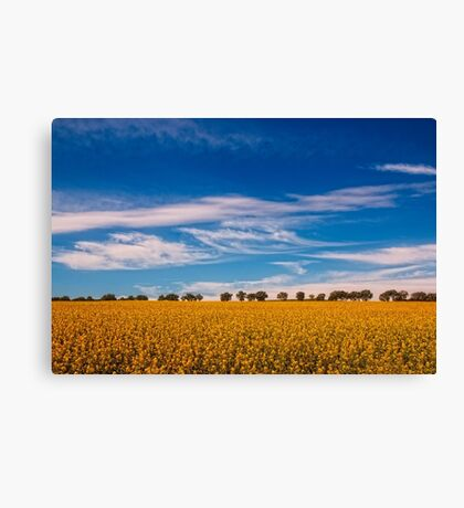 Canola fields Canvas Print