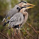 Nesting Pair - Great Blue Herons by Dennis Stewart