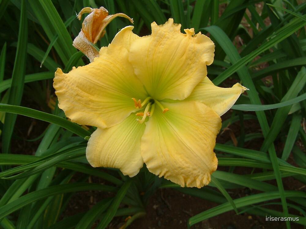 Day Lily by iriserasmus