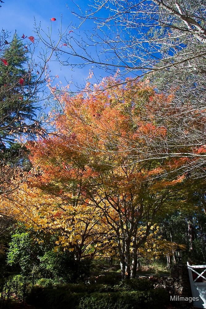 Autumn In Mount Wilson NSW Australia by MiImages