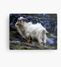 Goat of The Burren #2 Metal Print