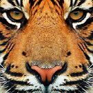 «Tigre - Fotografía de animales salvajes» de La Chic